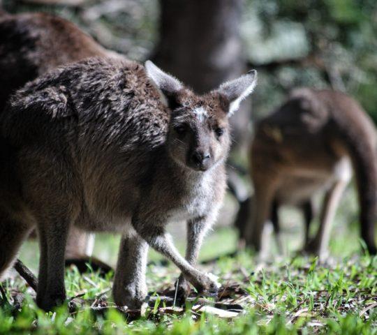 Bushman, značka z Austrálie.